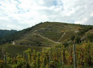 The plot les Cotes is exposed south and is situated in the village of Mauves. It is the rediscovered terroir!